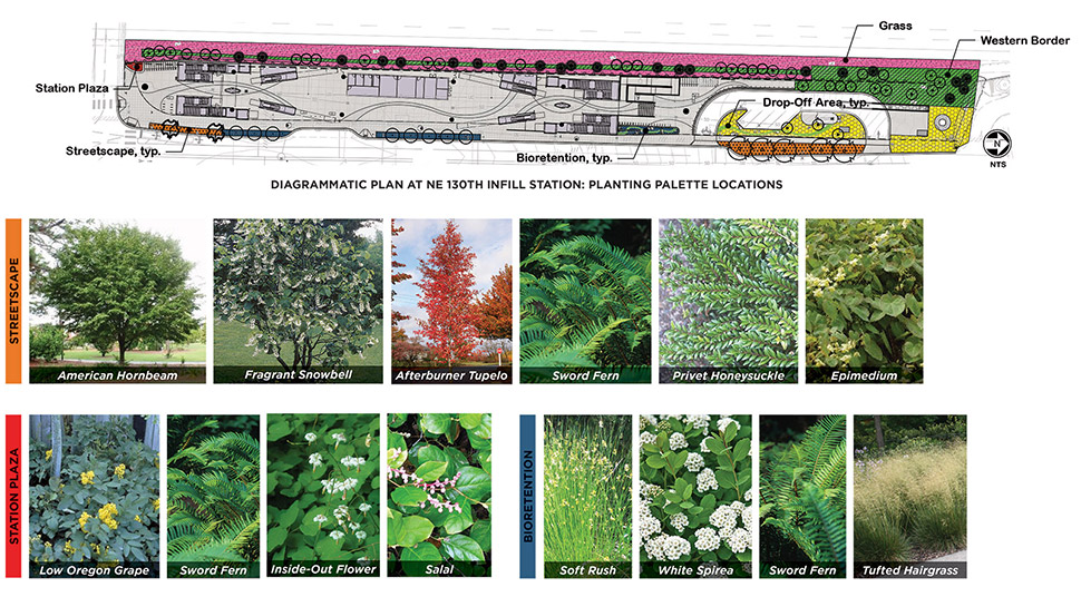 Graphic featuring streetscape, station plaza, and bioretention samples of plants. The top of the graphic features a diagrammatic plan of the Northeast 130th Street Station with the planting palette locations. Click image link to view a full-size JPEG.